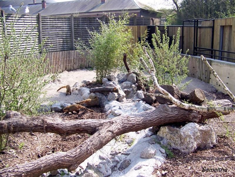 Le coati (Nasua nasua ) 100_1712