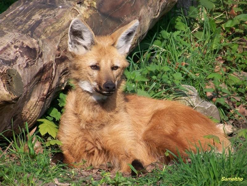 Le loup à criniere (Chrysocyon brachyurus) 100_1816
