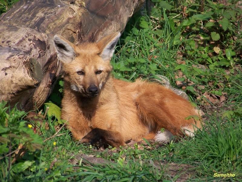 Le loup à criniere (Chrysocyon brachyurus) 100_1817