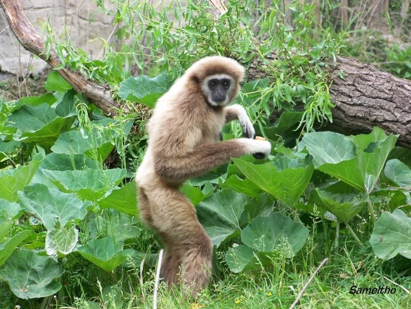 Le gibbon lar (Hylobates lar) 100_2012