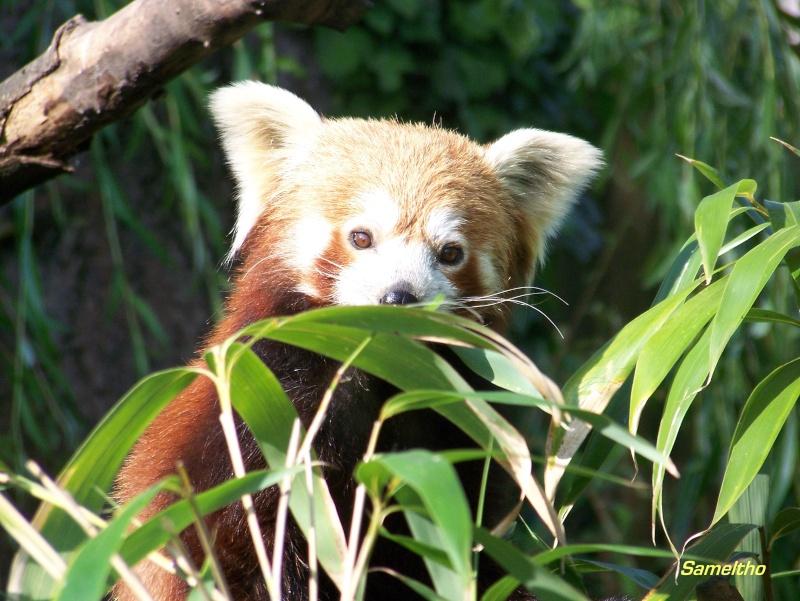 Le panda roux (Ailurus fulgens fulgens ) 100_2112