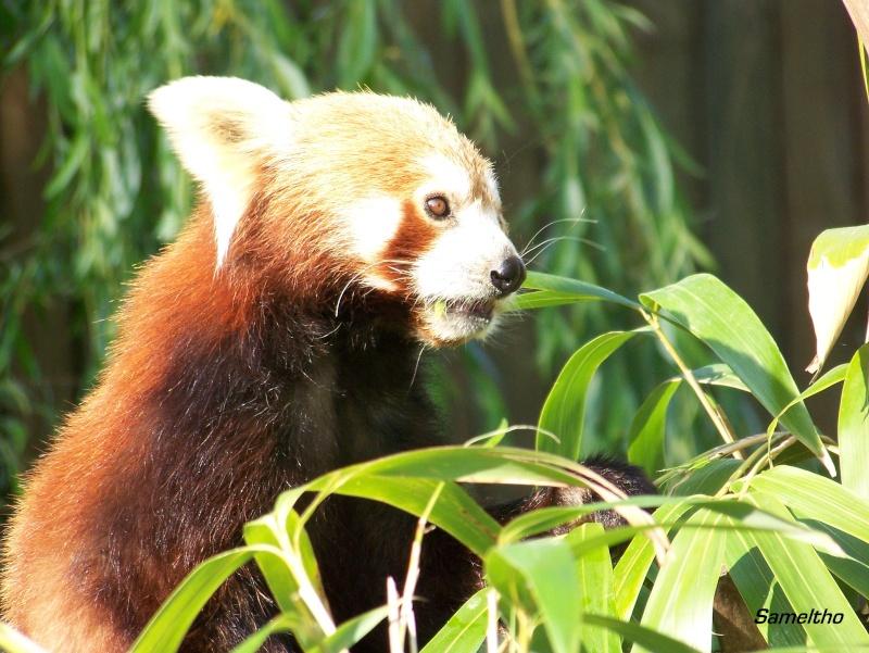 Le panda roux (Ailurus fulgens fulgens ) 100_2114