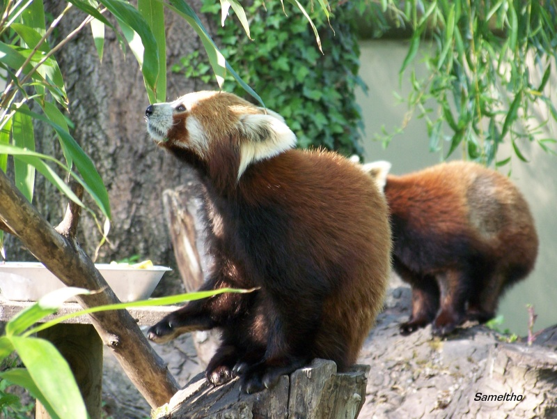 Le panda roux (Ailurus fulgens fulgens ) 100_2115