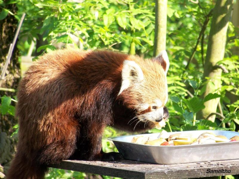 Le panda roux (Ailurus fulgens fulgens ) 100_2116