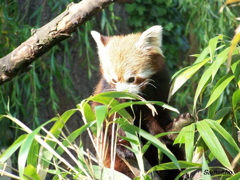 Le panda roux (Ailurus fulgens fulgens ) 100_2117