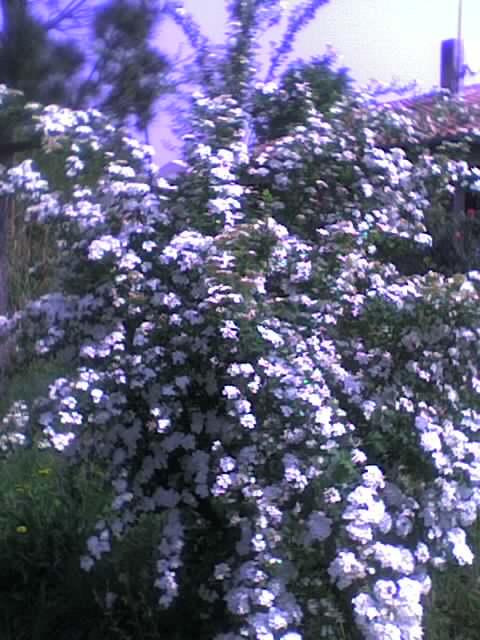 Fleurs en cascade Photo_61