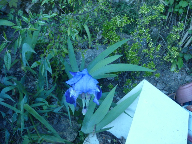 Iris de Hollande Dsc02014