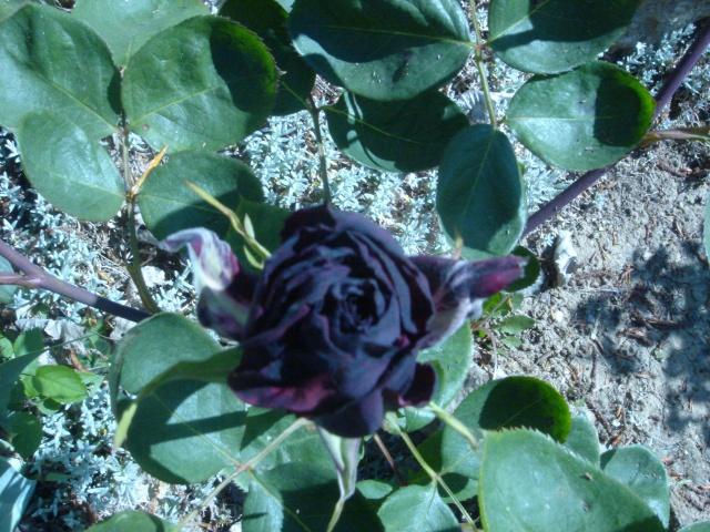 Ma rose noire Dsc02125