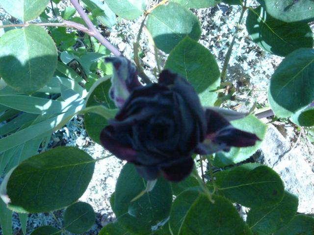 Ma rose noire Dsc02126