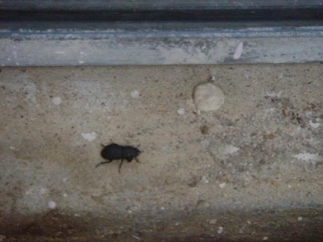 """Quelle est l'espèce de ce gros """"scarabée"""" ? Dsc02410"""