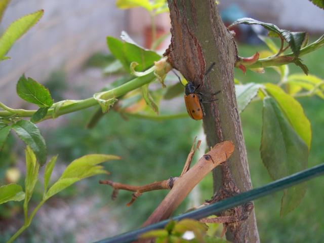 coccinelle géante?scarabée deguisé? 100_0645