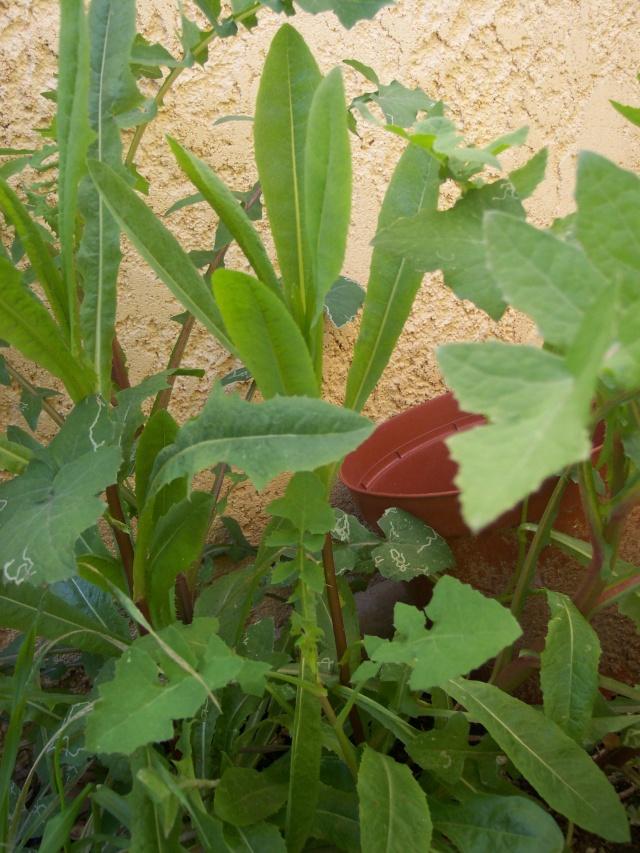 identification plante de mon jardin...(:lactuca seriola) - Page 2 113_0111