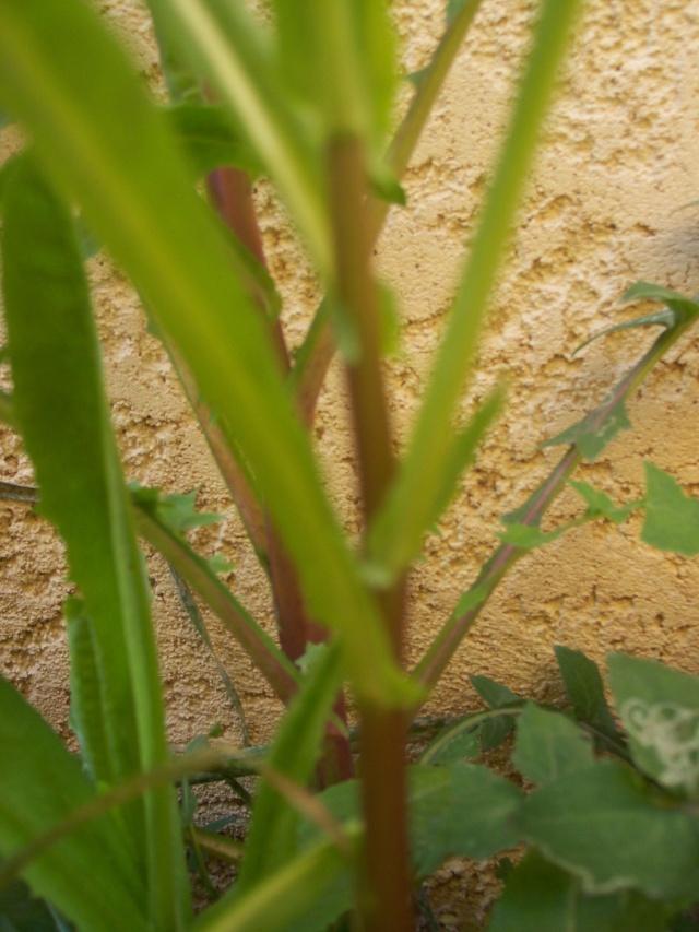 identification plante de mon jardin...(:lactuca seriola) - Page 2 113_0112