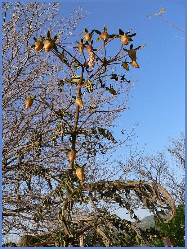 Dahlia imperialis - Page 3 P1170350
