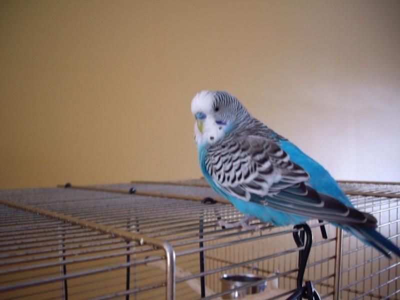 graminées pour mes perruches. 2006-022