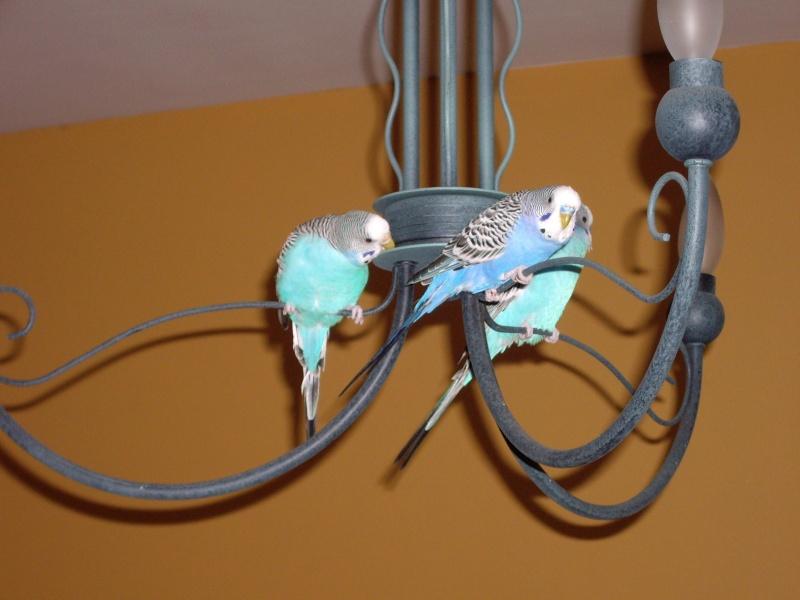 graminées pour mes perruches. 2006-023
