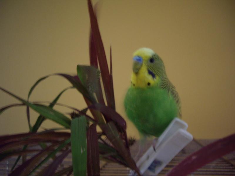 graminées pour mes perruches. 2006-024