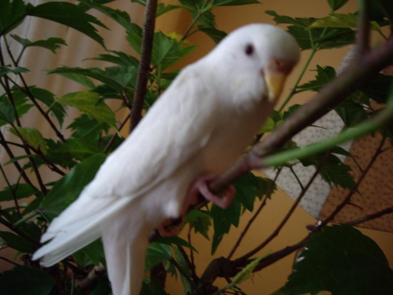 graminées pour mes perruches. 2006-114