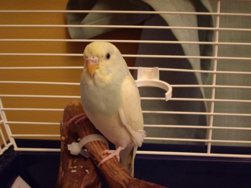 graminées pour mes perruches. 2007-011