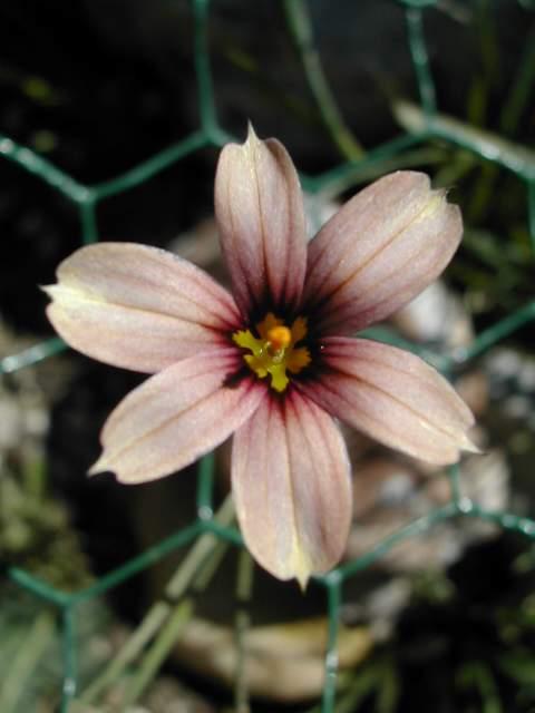 Sisyrinchium montanum ssp. montanum Dscn7012
