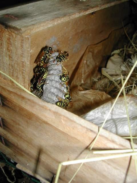 les nids de polistes Dscn7015