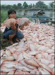 1 million de poissons morts en Thailande Sge_ev10