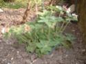géranium blanc issu de semis (identifié !) Dscf0011