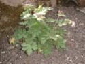 géranium blanc issu de semis (identifié !) Dscf0012