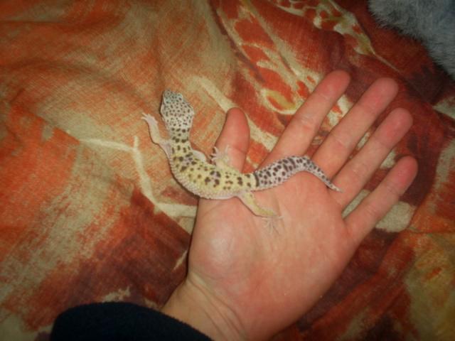 mes geckos leopard S4023811