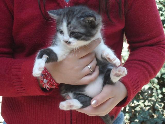 подаряват  се  две  женски  котета Angeli10