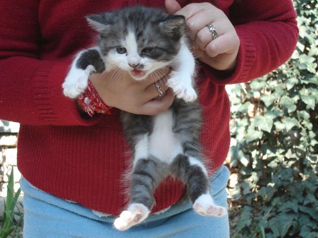 подаряват  се  две  женски  котета Angeli12
