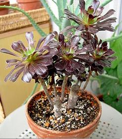 Besoin d'aide pour un Aeonium arboreum 05092910