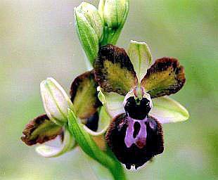 Ophrys des Lupercales avec pétales qui se labellisent O_ar-l10