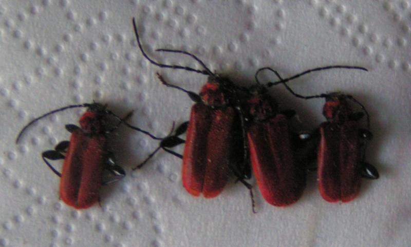 [Pyrrhidium sanguineum] Rouge feu... Mercre13