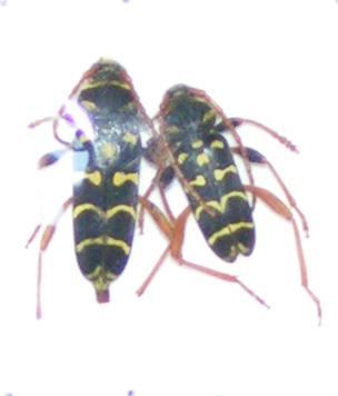[Plagionotus arcuatus]Clytus... Mercre14