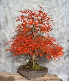 Acer palmatum seigen Nov05a10