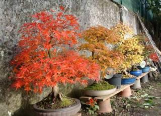 Acer palmatum seigen Nov05e10