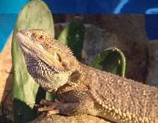 Dragon Barbu pogona vitticeps Image086