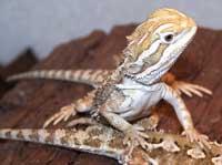 Dragon Barbu pogona vitticeps Image087