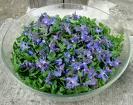 Bourrache, Borago officinalis Salade10