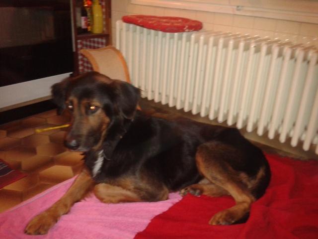 DIK chien mâle 3 ans type berger croisé attend sa famille 2012-110