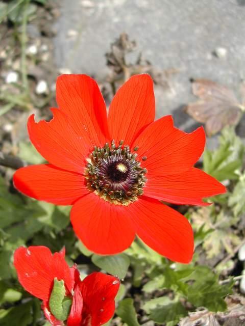Anemone pavonina Anemon10