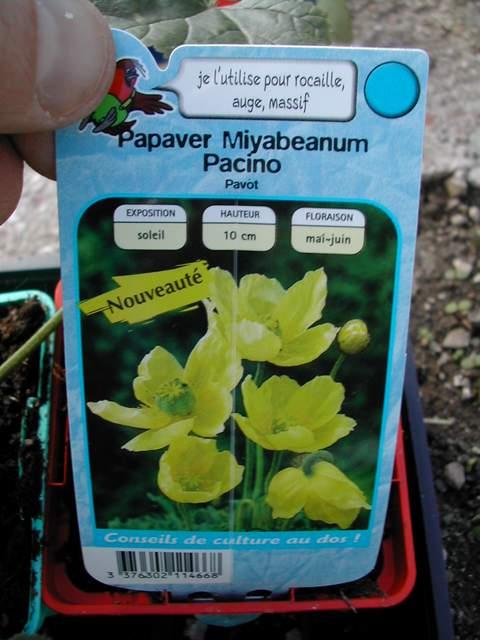Papaver miyabeanum Dscn5810