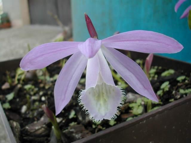 Les 1ères orchidées rustiques Dscn6211