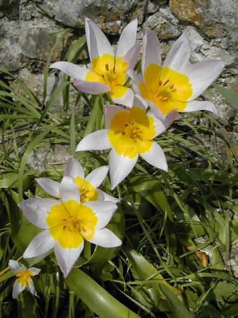 Tulipa saxatilis Dscn6213