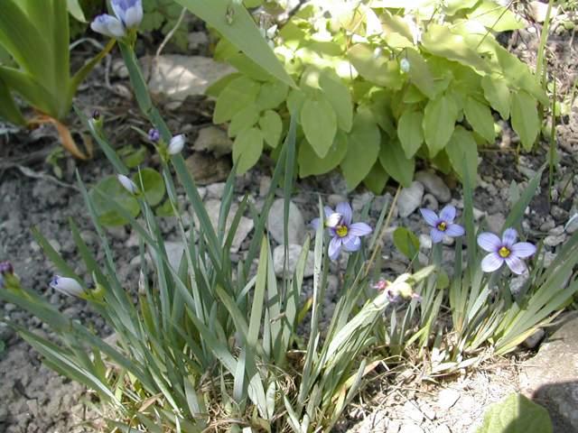 Sisyrinchium montanum ssp. montanum Sisyri10