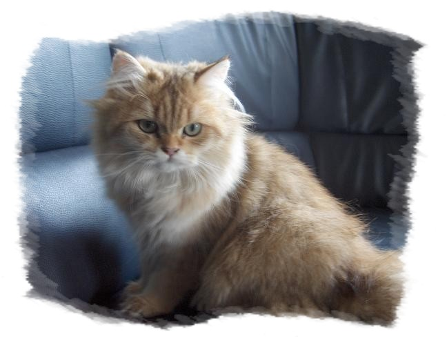 british longhair golden shaded Photo_10