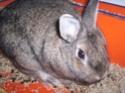 [rongeurs,...] Le lapin Lapin_10