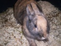 [rongeurs,...] Le lapin Lapin_11