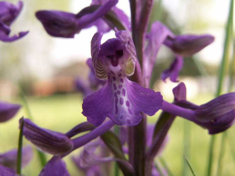 Anacamptis morio ( Orchis bouffon ) Pict0010